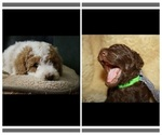 Poodle (Standard) Puppy For Sale in PAONIA, CO, USA