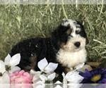 Puppy 9 Miniature Bernedoodle