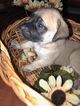 Mastiff Puppy For Sale in LAS VEGAS, NV, USA