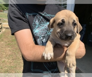Great Dane-Labrador Retriever Mix Puppy for Sale in CHESAPEAK BCH, Maryland USA