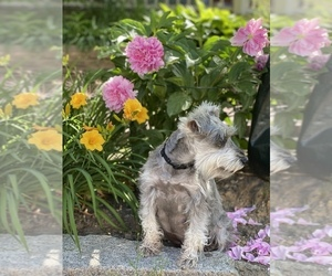 Mother of the Schnauzer (Miniature) puppies born on 06/21/2020