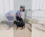 Small #104 Rottweiler
