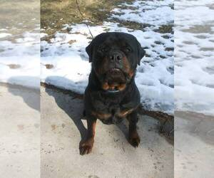 Father of the Rottweiler puppies born on 12/02/2020