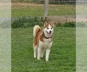 Father of the German Shepherd Dog-Siberian Husky Mix puppies born on 08/31/2020