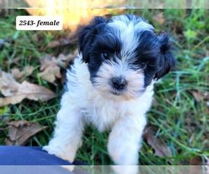 Zuchon Puppy for Sale in MANES, Missouri USA