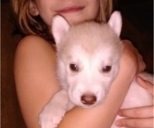 Wolf Hybrid Puppy for sale in LA PORTE, MN, USA