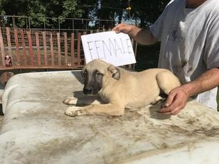Anatolian Shepherd Puppy For Sale in LINCOLN, IL, USA