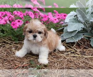 Shih Tzu Puppy for sale in SHILOH, OH, USA