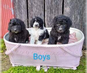 Pyredoodle Puppy for Sale in VERGENNES, Illinois USA