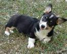 Pembroke Welsh Corgi Puppy For Sale in WAMEGO, KS, USA