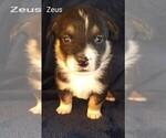 Puppy 4 Pembroke Welsh Corgi