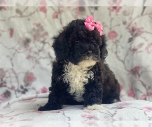 Poovanese Puppy for sale in LAKELAND, FL, USA