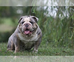 Father of the Bulldog puppies born on 05/30/2021