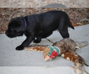 Labrador Retriever Puppy for Sale in RICHMOND HILL, Georgia USA