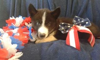 Siberian Husky-Wolf Hybrid Mix Puppy for sale in VISALIA, CA, USA