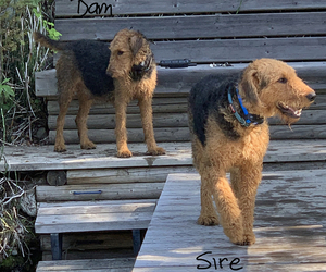 Father of the Airedale Terrier puppies born on 08/09/2019