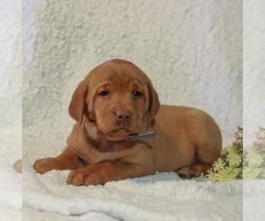 Labrador Retriever Puppy for Sale in BERNVILLE, Pennsylvania USA