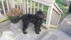 Australian Labradoodle Puppy For Sale in SKILLMAN, NJ