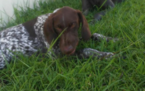 German Shorthaired Pointer Puppy For Sale in CORPUS CHRISTI, TX,