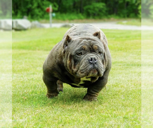 Father of the American Bully-American Pit Bull Terrier Mix puppies born on 01/03/2021