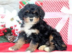 Bernese Mountain Poo Puppy For Sale in MOUNT JOY, PA, USA