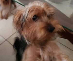 Yorkshire Terrier Puppy for Sale in PORT CHARLOTTE, Florida USA