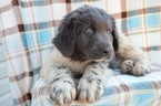 Newfoundland Puppy For Sale in EAST EARL, PA, USA