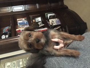 Poodle (Toy)-Yorkshire Terrier Mix Dog For Adoption in NIXA, MO, USA