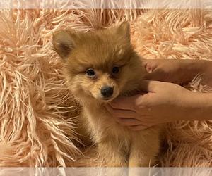 Pomeranian Puppy for Sale in BOSTON, Massachusetts USA