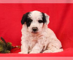 Aussie-Poo Puppy for Sale in MILLERSBURG, Pennsylvania USA