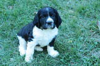 English Springer Spaniel Puppy For Sale in YORK, PA
