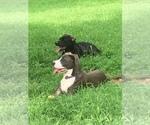 Small #1 American Staffordshire Terrier-Labrador Retriever Mix