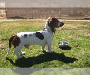 Basset Hound Puppy for sale in YUCCA VALLEY, CA, USA
