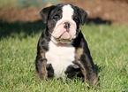 Bulldog Puppy For Sale in MOUNT JOY, PA,