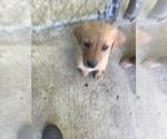 Puppy 0 Goldendoodle-Labrador Retriever Mix