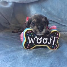 Schnauzer (Miniature) Puppy For Sale in HUTTO, TX, USA