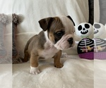 Small #8 English Bulldog