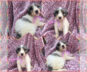 Aussiedoodle-Poodle (Standard) Mix Puppy for sale in BLOOMFIELD, MO, USA