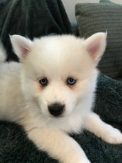 Pomsky Puppy For Sale in MADISON, WI, USA