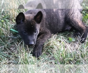 Dutch Shepherd Dog Puppy for Sale in SPENCERVILLE, Indiana USA