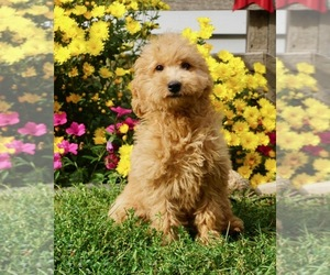 View Ad Goldendoodle Litter Of Puppies For Sale Near