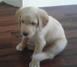 Labradoodle Puppy For Sale in SUGAR LAND, TX
