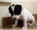 Small #3 America Bandogge Mastiff