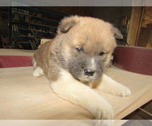 Akita Puppy for sale in OTTAWA HILLS, OH, USA