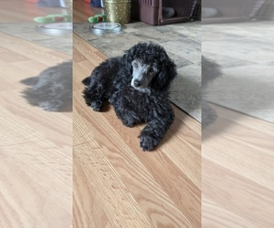 Poodle (Miniature) Puppy for sale in CEDARVILLE, WA, USA