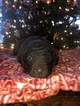 Chesapeake Bay Retriever Puppy For Sale in DECATURVILLE, TN, USA
