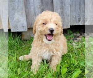 Goldendoodle-Poodle (Miniature) Mix Puppy for sale in CANAJOHARIE, NY, USA