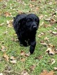 Goldendoodle Puppy For Sale in MORGANTOWN, IN, USA