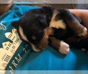 Bernese Mountain Dog Dog for Adoption in LEETONIA, Ohio USA
