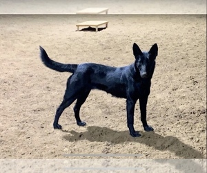 Mother of the Belgian Malinois puppies born on 03/06/2021